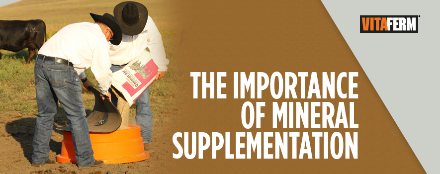 Importance of Mineral to Cattle