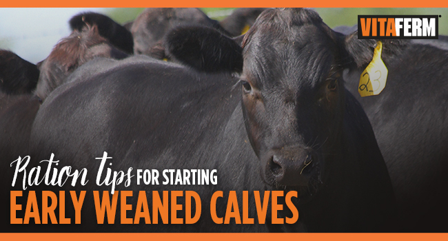 Ration Tips for Early Weaned Calves