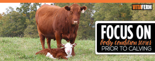Focus on Body Condition Score Prior to Calving