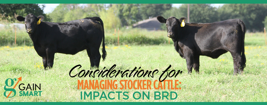BRD Effects on Stocker Cattle