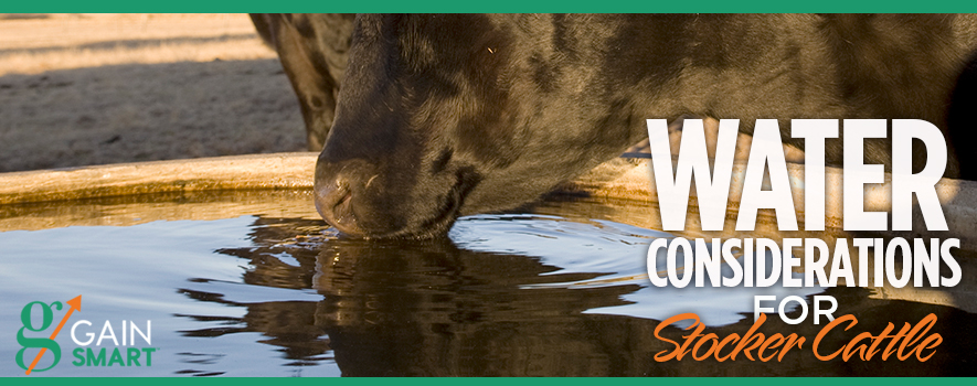 Water considerations for Stocker Cattle